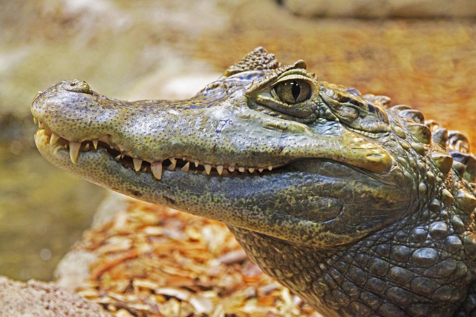 alligator-1579916